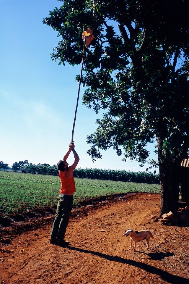Farmer picking an avocado, Güira de Melena, 2000